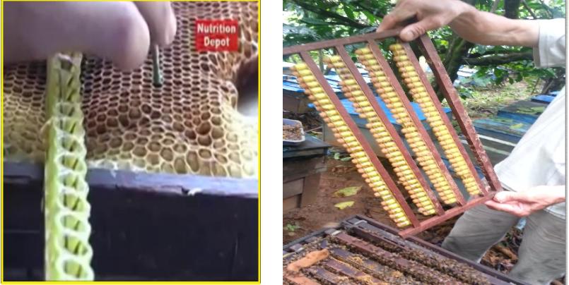 Bước 1: Bỏ ấu trùng vào ổ Ong chúa giả và gắn vào khung cầu