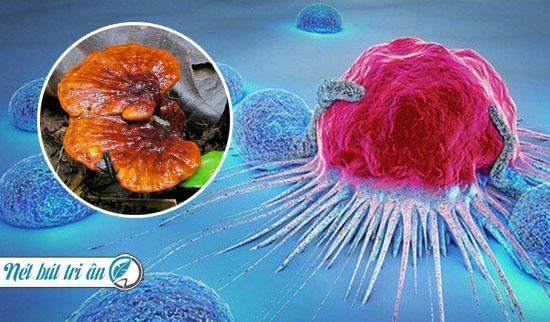 nấm lim xanh chữa bệnh ung thư